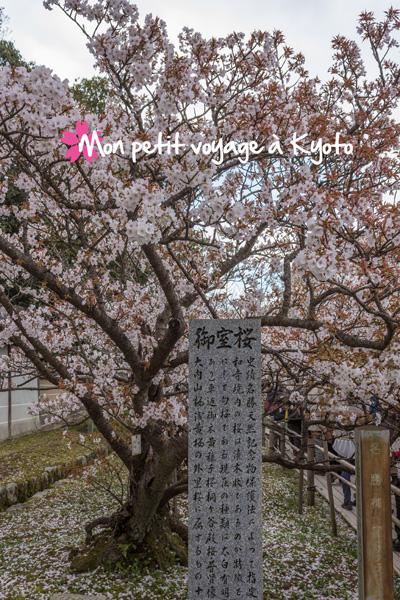Ninna-ji Sakura