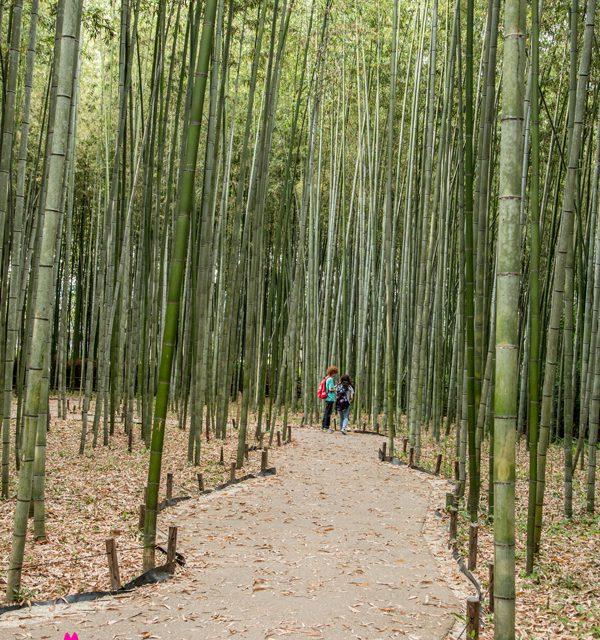 Fôret de bambou